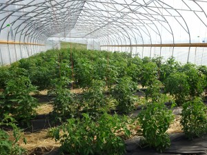 Tomatoes Hoop House 4